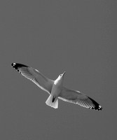 """Seagull"" by Calvin Burgess Honorable Mention"