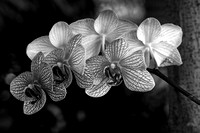 """Moth Orchid"" by Steve Wall Honorable Mention"